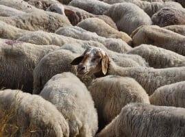 חדר בריחה להציל את הכבשה